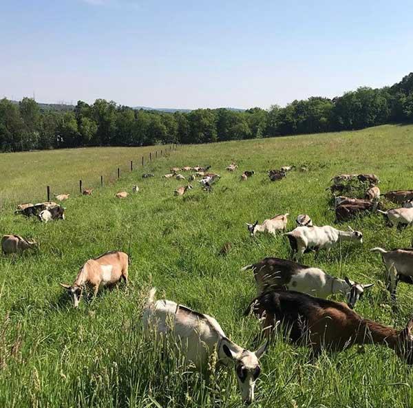 goats in feild
